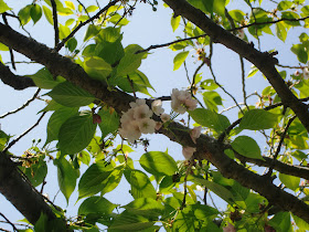 極楽寺の桜