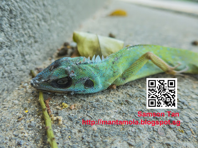 Green Crested Lizard ( Bronchocela cristatella )