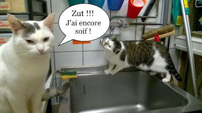 Chat qui boit au robinet.