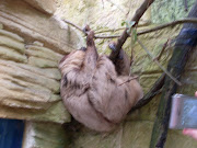 Sloth linne's two toed sloth amazon world gareth's birthday th june