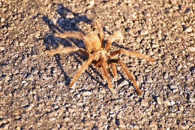 Desert Tarantula Aphonopelma iodius _1693