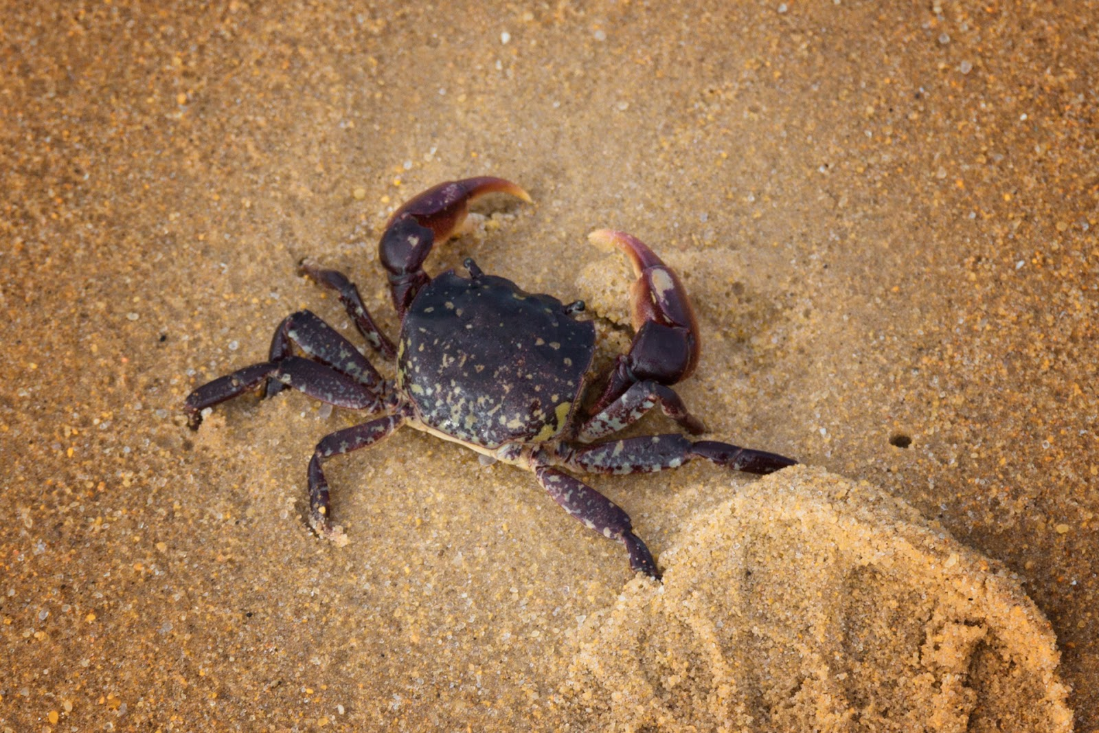 red crab on sandy beach wilsons promontory