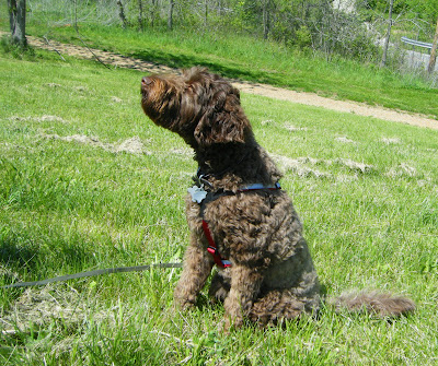 Alfie's sitting in the grass in his tracking harness; his nose is up sniffing the breeze