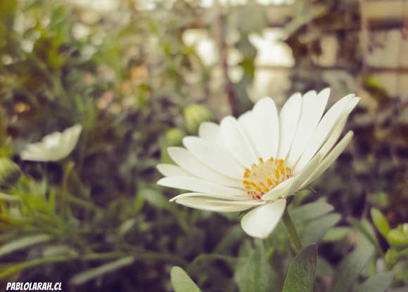 white flowers,yellow center,pablolarah,Pablo Lara H Photography,Santiago, Chile