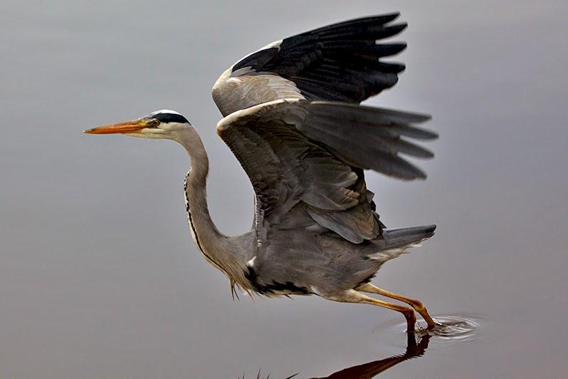 Fotos - Tiere - Tierfotos - Vogelfotos - Graureiher im Flug