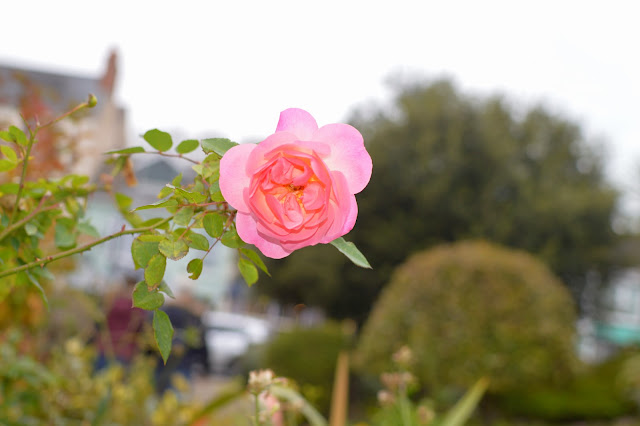 Saundersfoot Rose