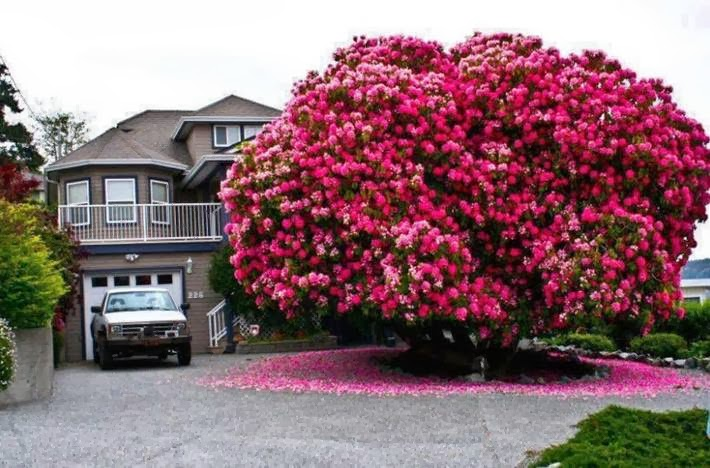 Blooming Rhododendron.