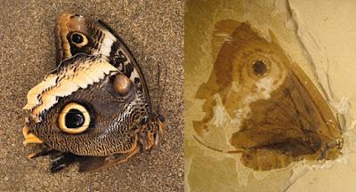 Descoberto fóssil de borboleta primitiva de 150 milhões de anos