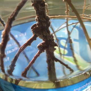 Avocado root system in water