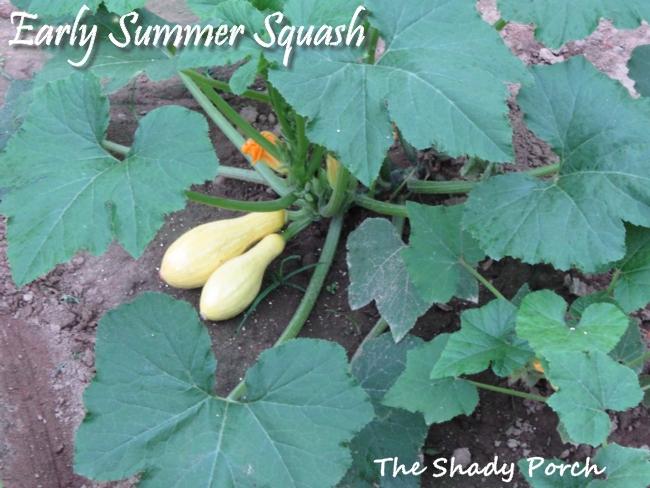 Early Summer Squash #garden #vegetables #gardening