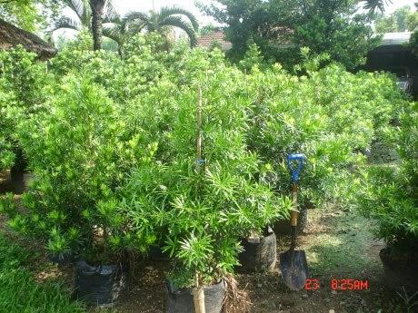 Jual Pohon Luohansung | Tanaman hias