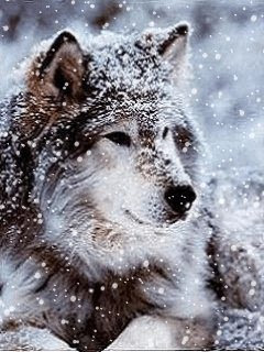 wolf dogs species variant breeds wild animal picture wolves