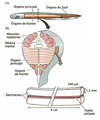 Contemporáneo Anatomía Anguila Eléctrica Ilustración - Anatomía y ...