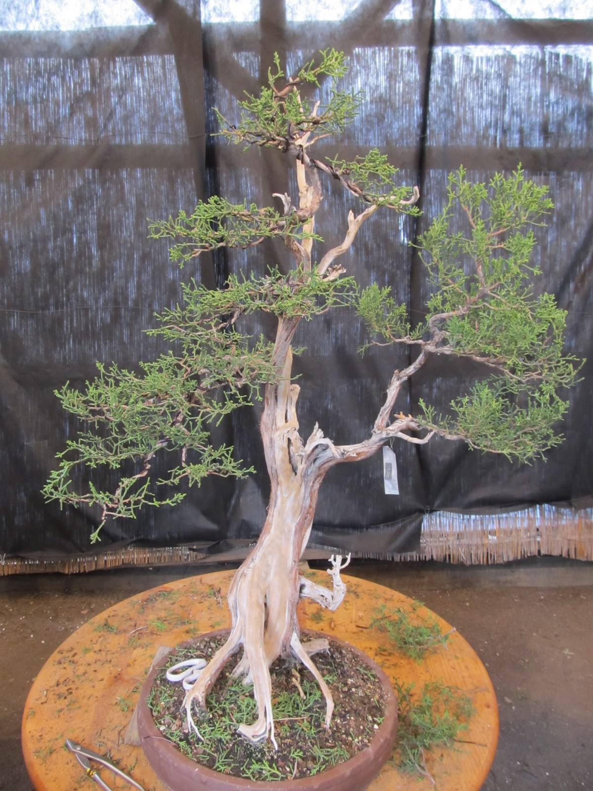 Bonsaibp39s Bonsai Blog California Juniper Refinements