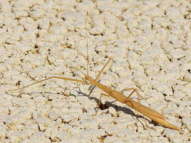 brown walking stick, insect