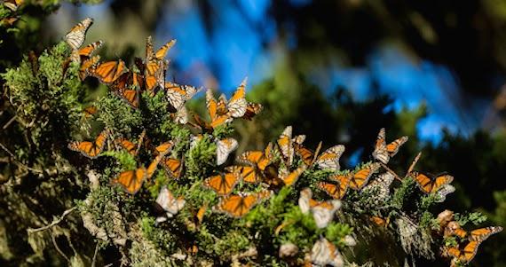 Corredor Mariposa Monarca - Estado de México