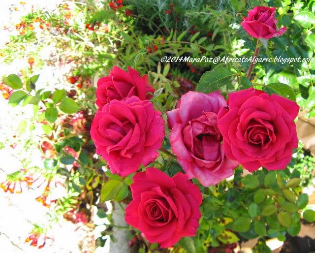 shocking pink roses
