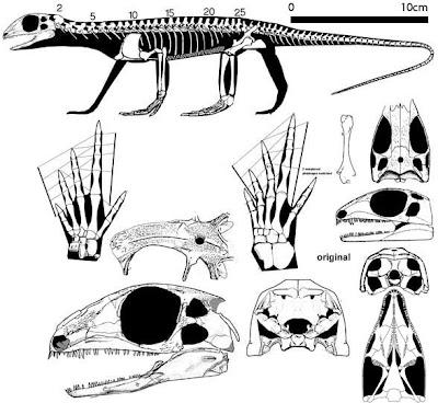 esqueleto y craneo de Petrolacosaurus