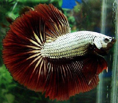 Joe 39 s aquaworld for exotic fishes mumbai india 9833898901 for Show betta fish