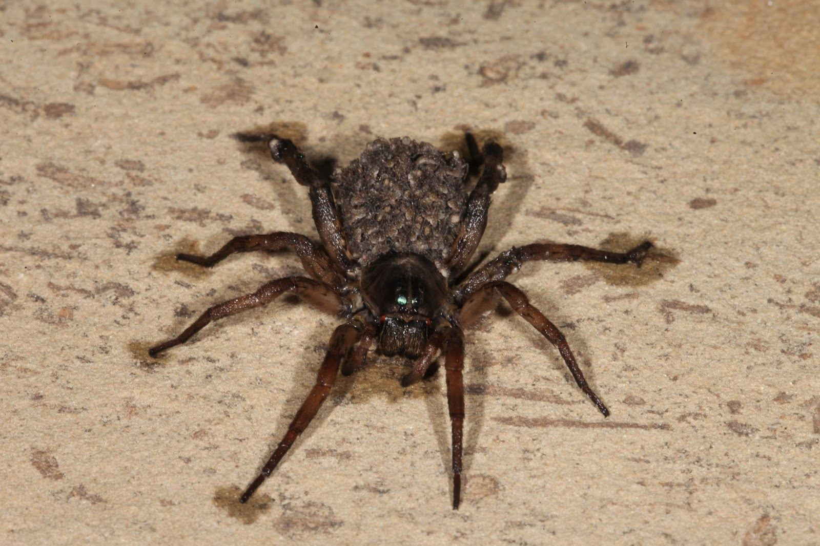 Wolf Spider with babies.
