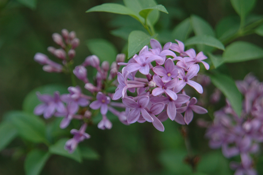 Old fashioned common lilacs don t grow well here but there are some