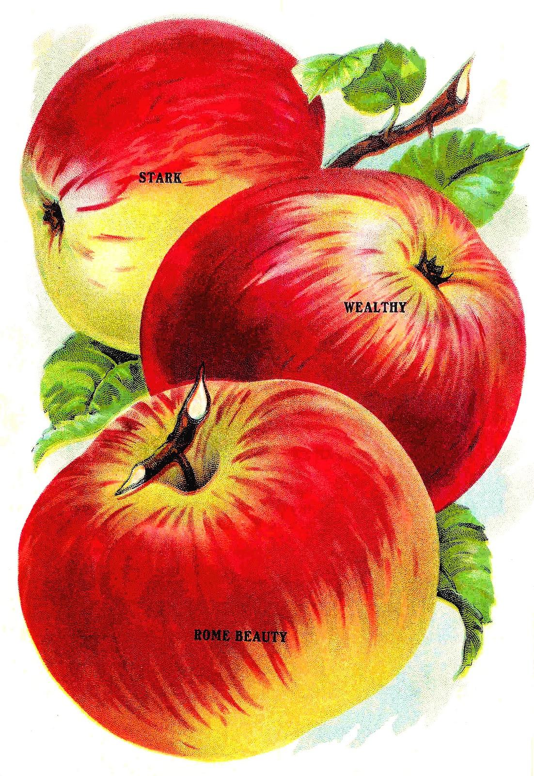 Antique Images: Vintage Clip Art of Fruit: Vintage Graphic ...