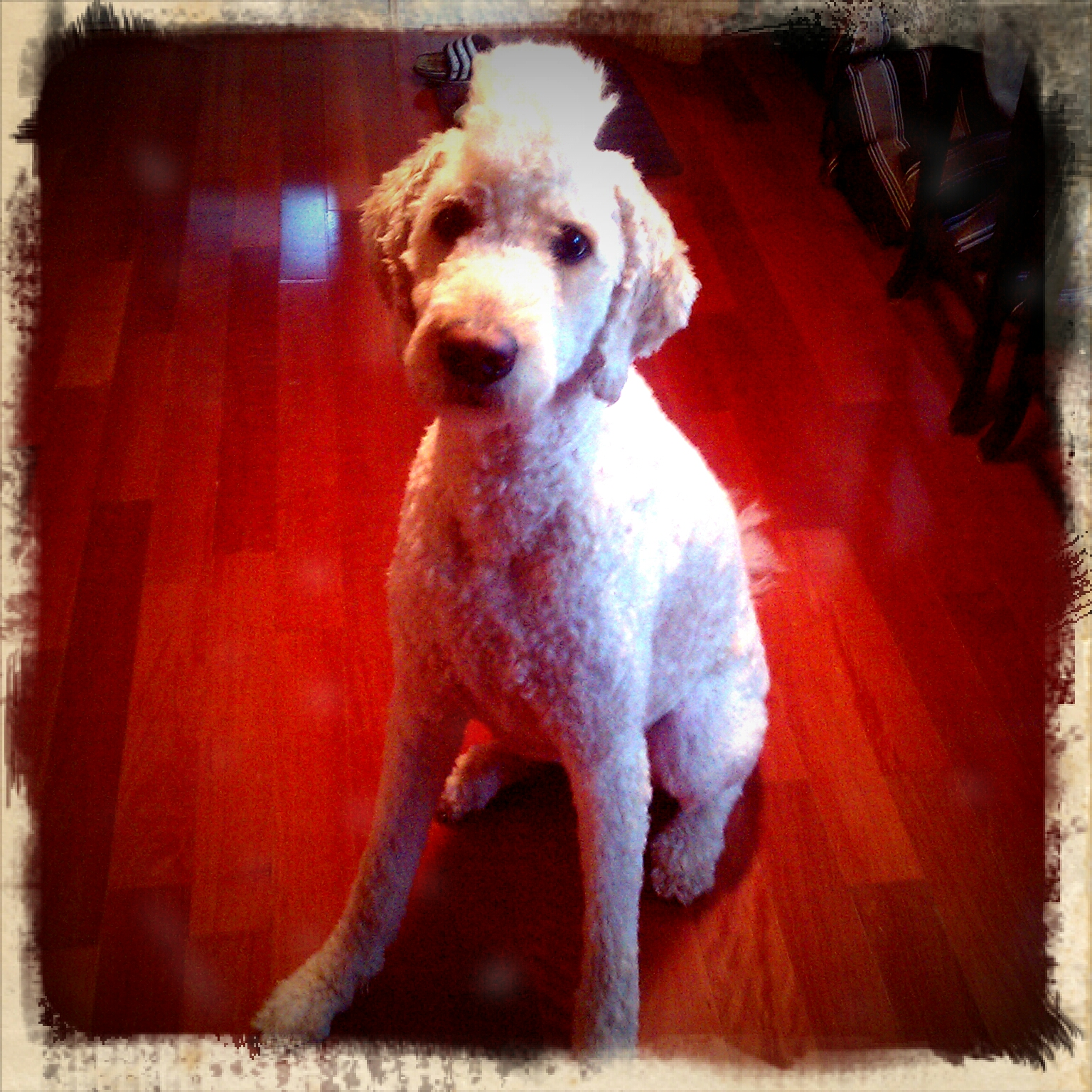 Displaying 19> Images For - Goldendoodle Mohawk...