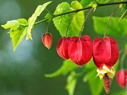 abutilon farolitos chinos