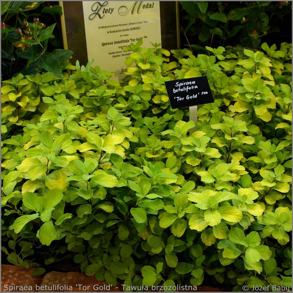 Spiraea betulifolia 'Tor Gold' - Tawuła brzozolistna 'Tor Gold'