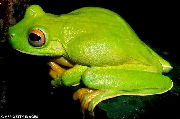 Katak pokok besar hijau - Litoria dux
