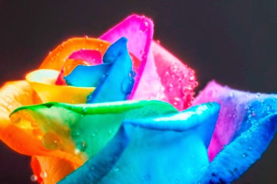 Rosas Arcoíris (Multicolores).