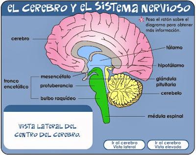 http://kidshealth.org/misc/movie/spanish/bodyBasicsBrain/bodyBasicsESP_brain.html