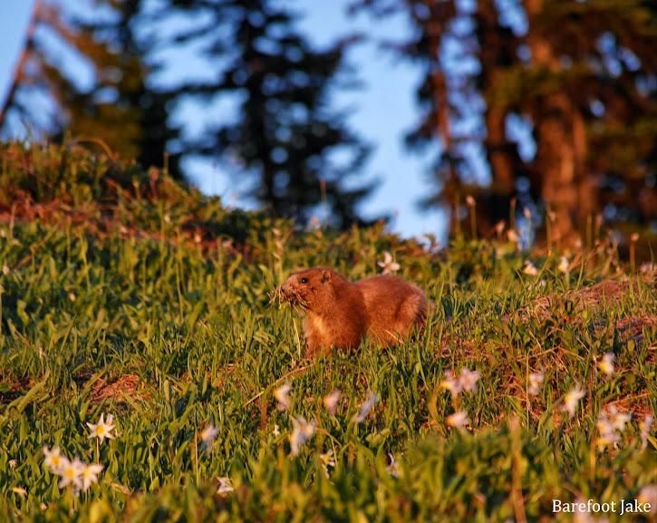 busy Olympic Marmot