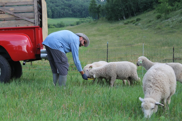 PB feeding treats to the lambs
