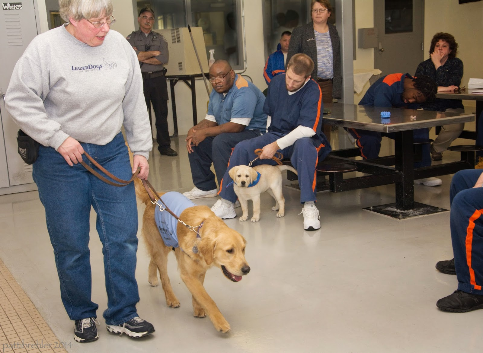 """A woman with short white hair and glasses, wearing a grey sweatshirt and blue jeans, holds the leash of an older golden retriever puppy. They are on the left side of the photo. The puppy is wearing the baby blue """"working"""" vest that identifies him as a puppy in training for Leader Dogs for the Blind. Several men are sitting int he background watching. One in the middle is holding the leash of the small yelllow lab, who is standing and watching the other dog intently."""