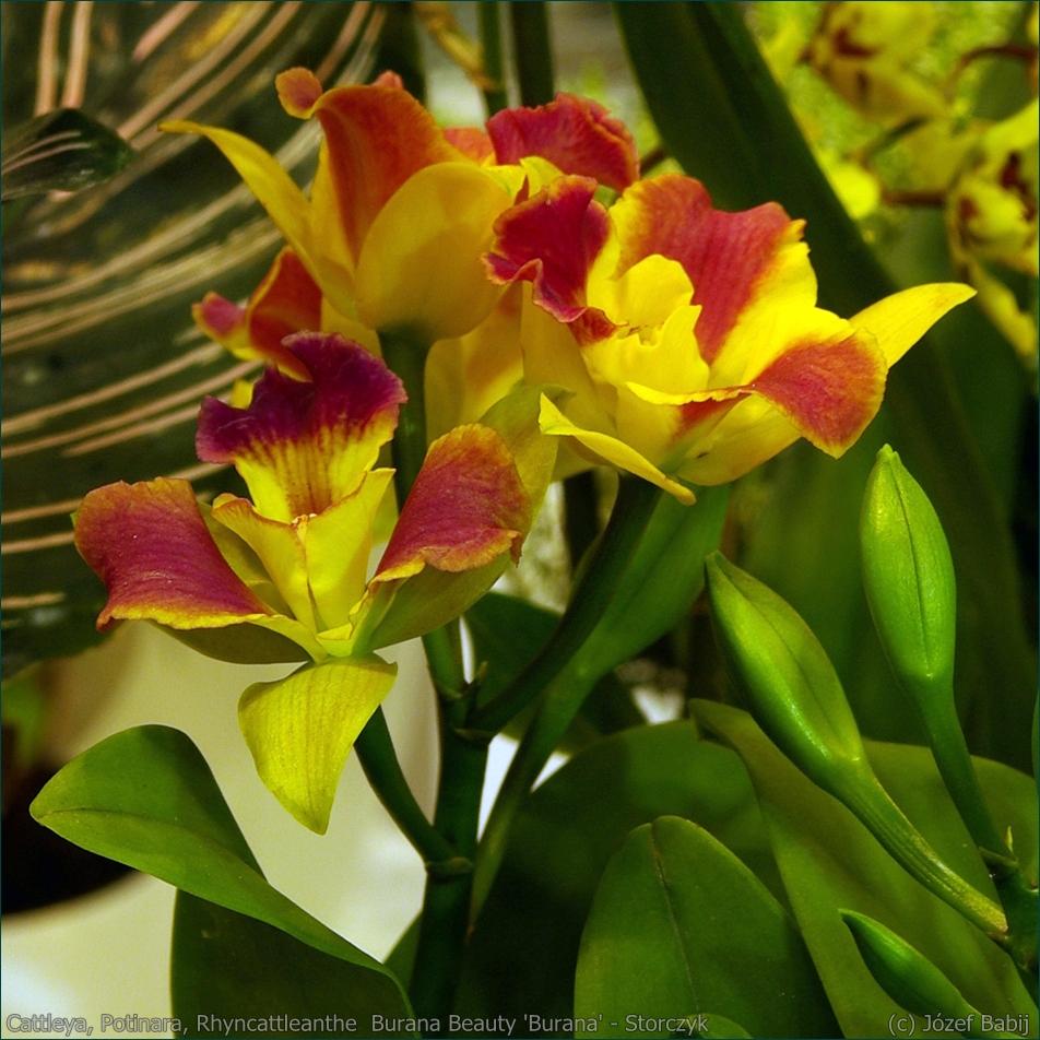 Cattleya, Potinara, Rhyncattleanthe  Burana Beauty 'Burana' - Storczyk kwiaty