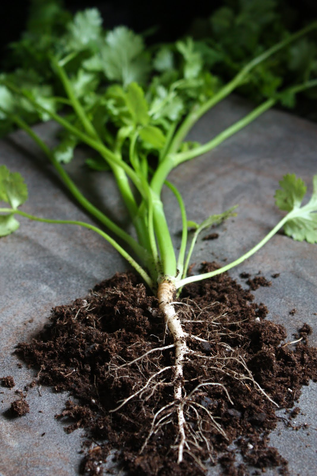How to Grow Coriander for the Roots to Use in Thai Cooking ...