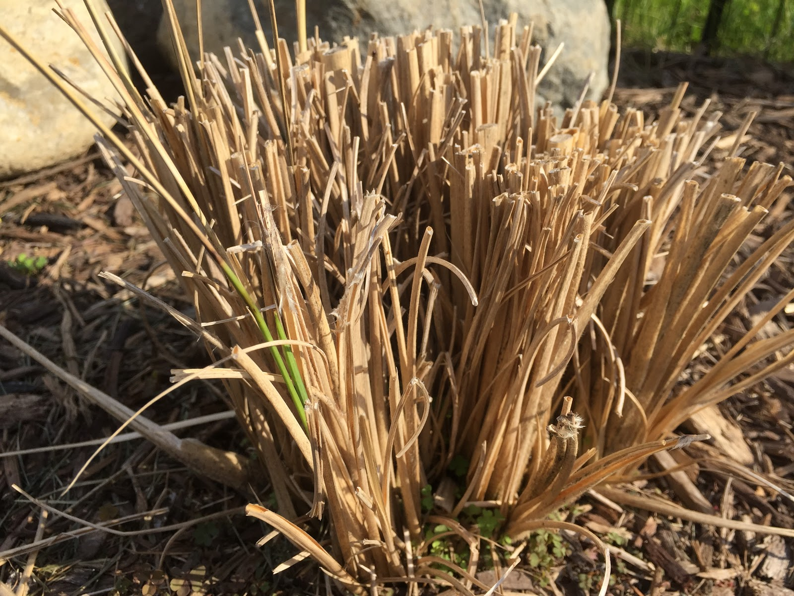 Erianthus ravennae 39 hardy pampas grass 39 waking up for Hardy grasses for the garden