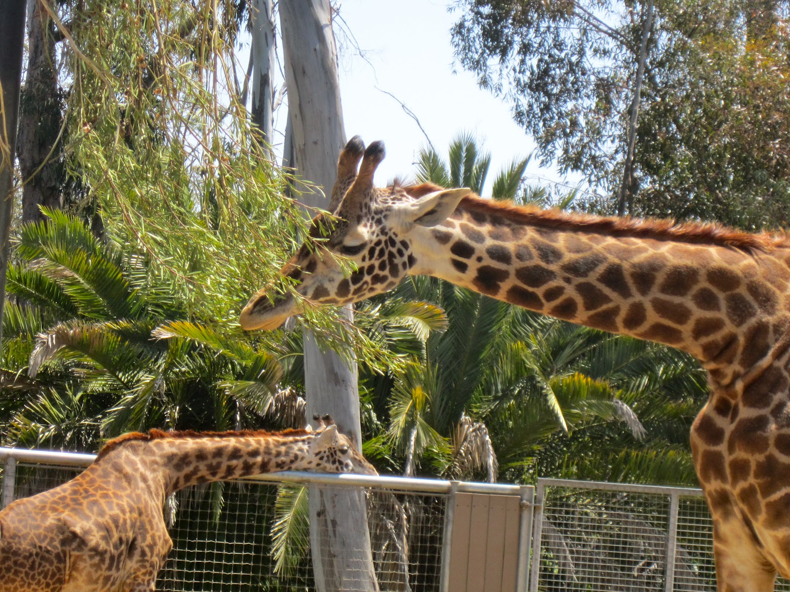 a short blog about a tall animal
