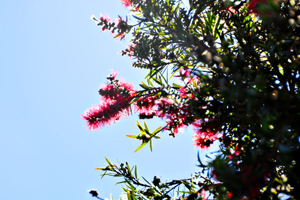 Sydney red flower needles