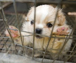 """WHAT YOU CAN DO TO HELP STOP PUPPY MILLS - STOP THE CYCLE OF CRUELTY"" - HUMANE SOCIETY U.S."