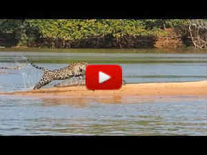 Jaguar kills an alligator video | Jaguar catches Crocodile video record from National geographic | Jaguar hunts crocodile video from youtube | முதலையை லாவகமாக வேட்டையாடும் சிறுத்தை புலி