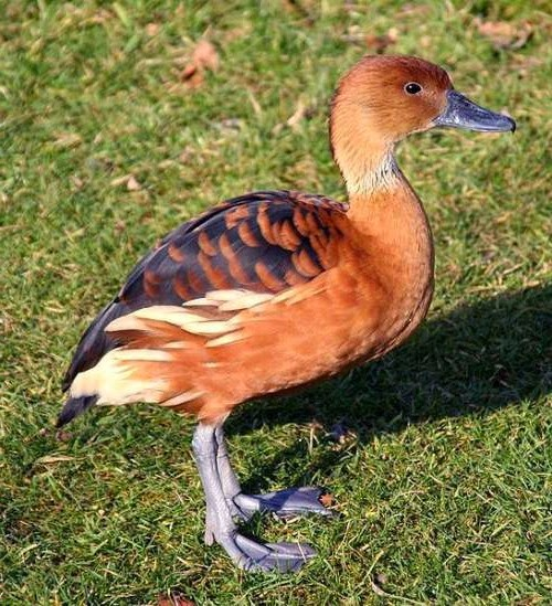 Indian birds - Fulvous whistling-duck - Dendrocygna bicolor