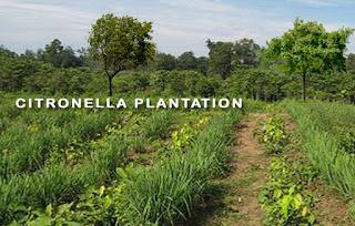 Citronella Cultivation