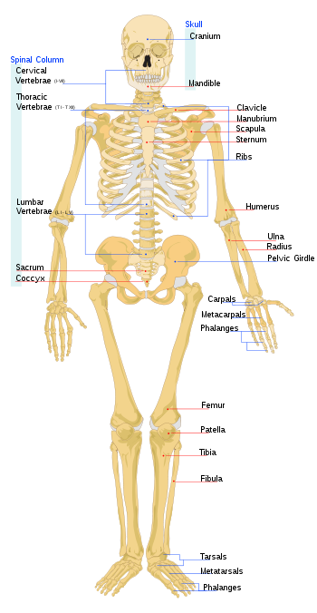 gambar kerangka manusia