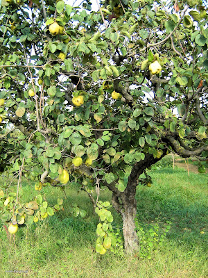 Κυδωνιά: σπορά φύτεμα καλλιέργεια