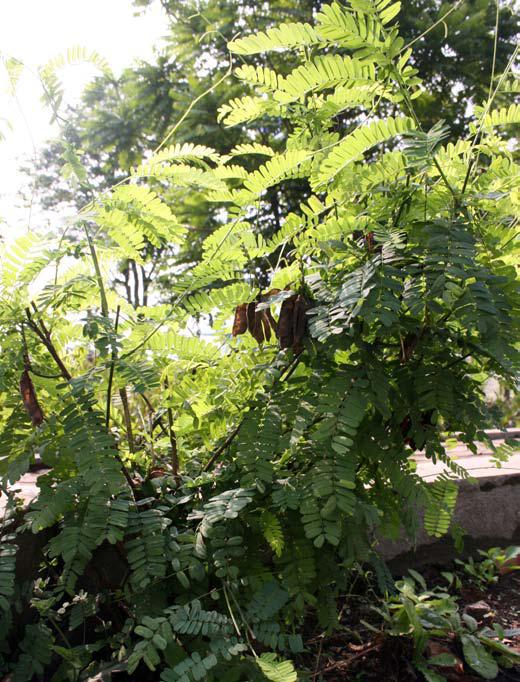 tanaman saga, daun tanamaman saga
