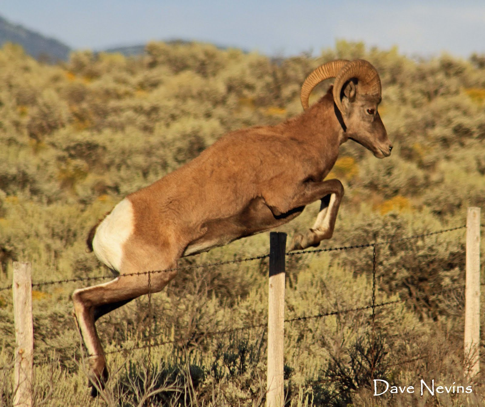 Bighorn Sheep jumping fence - Taos, NM