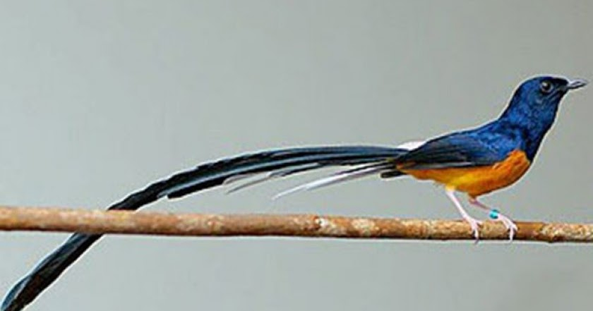Budidaya Burung CARA MEMBEDAKAN MURAI BATU MEDAN MURAI