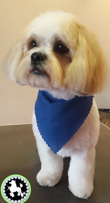 tamworth dog grooming ahsby de la zouch  shih bichon photo